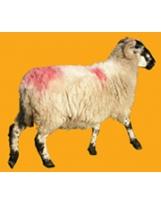 Mouton N°01