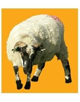 Mouton N°02