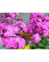 Papillon N°01