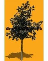 Black plane tree