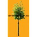 Tree N°24 horse-chesnut tree