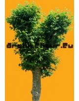 Plane tree