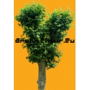 Tree N°26 Plane tree