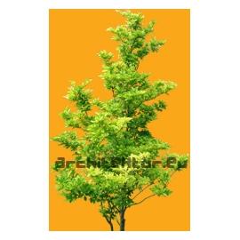 Rhamnus frangula tree