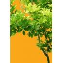 Tree N°27 Rhamnus frangula