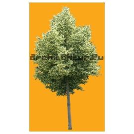 Lime tree of Crimee