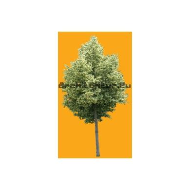 Tree N°28 Lime of Crimee