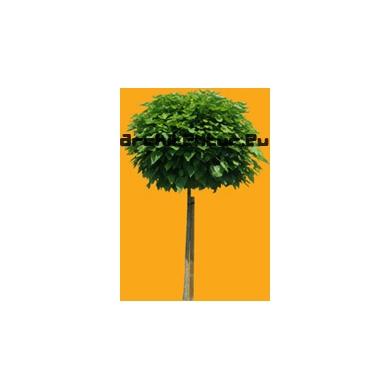 Tree N°29 Catalpa Speciosa