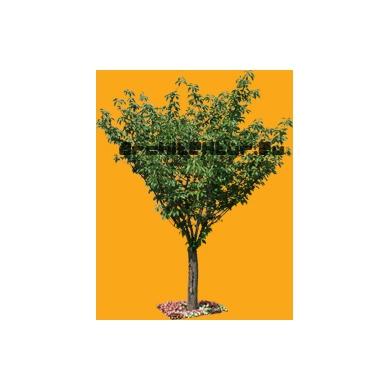 Arbre N°30 Cerisier