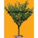 Tree N°30 Cherry tree