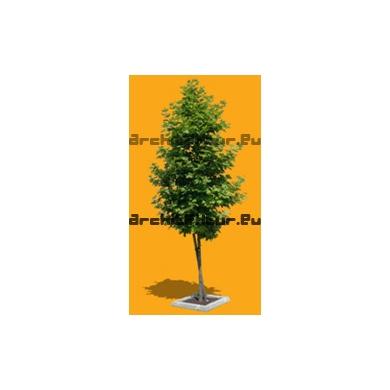 Tree N°31 Planetree