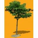 Tree N°18 Catalpa Speciosa