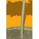 Tree N°33 medlar tree