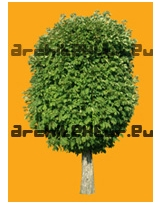 Horse-chesnut tree