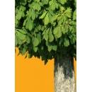 Tree N°33 horse-chesnut tree