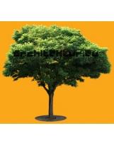 Robinia Holdtii tree