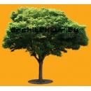 Tree N°36 Robinia Holdtii