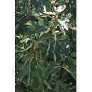 Tree N°37 Fig tree