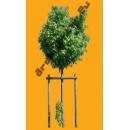 Tree N°38 acer miyabei