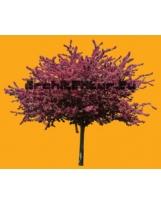 Prunus Myroboan Rosea