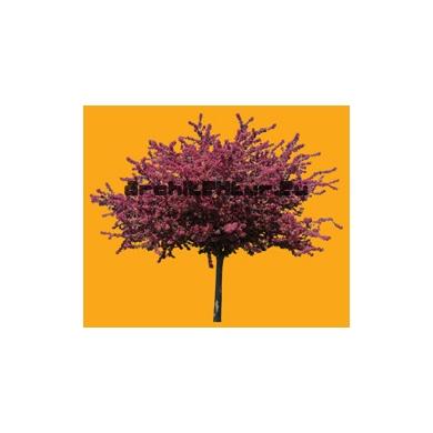 Tree N°39 Prunus Myroboan Rosea