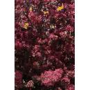 Arbre N°39 Prunus Myroboan Rosea