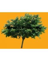 Morus alba tree