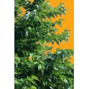 Tree N°41 morus alba