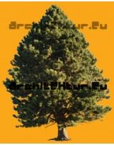 Pinus coulteri