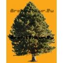 Arbre N°42 Pinus