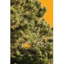 Tree N°42 pinus