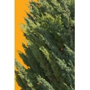 Tree N°43 Cypress