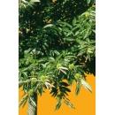 Tree N°45 Chestnut tree
