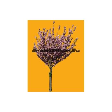Tree N°47 cherry tree