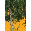 Tree N°48 birch