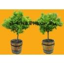 Arbre N°50 Petits Orangers en pots