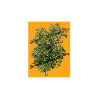 Tree N°51 birch