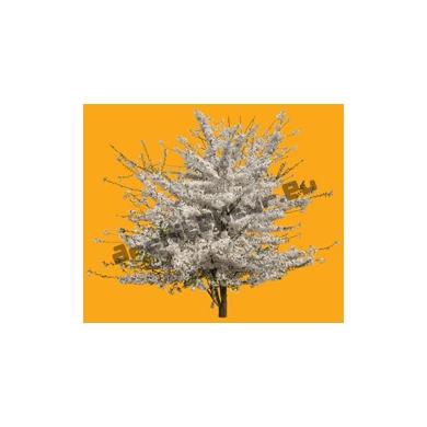Arbre N°52 Cerisier fleuri