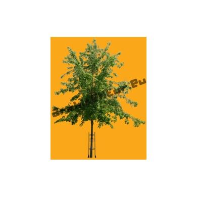 Tree N°53 Acer
