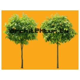 Bigaradier orange tree