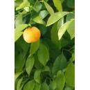 Tree N°49 bigaradier orange tree