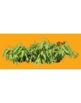Bamboo N°01