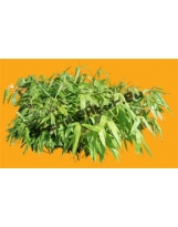 Bambou N°02