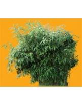 Bamboo N°03