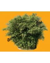 Bamboo N°07