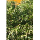 Bambou N°07
