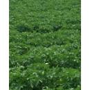 Field of Potatoes