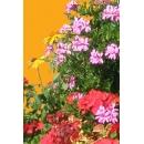 Geranium N°01 et Fleurs