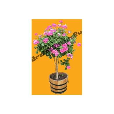 Geraniums N°03 sur Tige