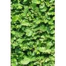 Hedge N°03 Hornbeam
